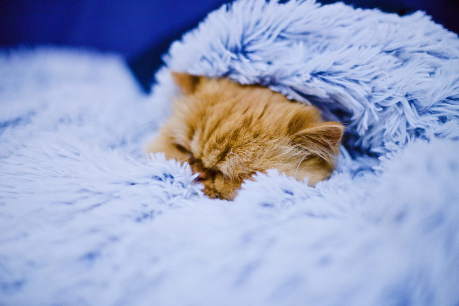 cat in a blanket