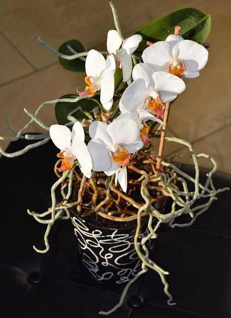 trimming orchid roots