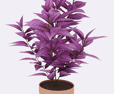 what is a persian shield plant