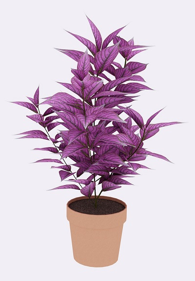What Is A Persian Shield Plant? Purple Perfection!