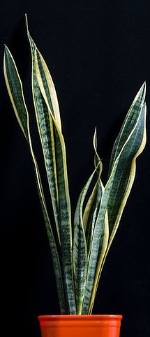 what is a snake plant