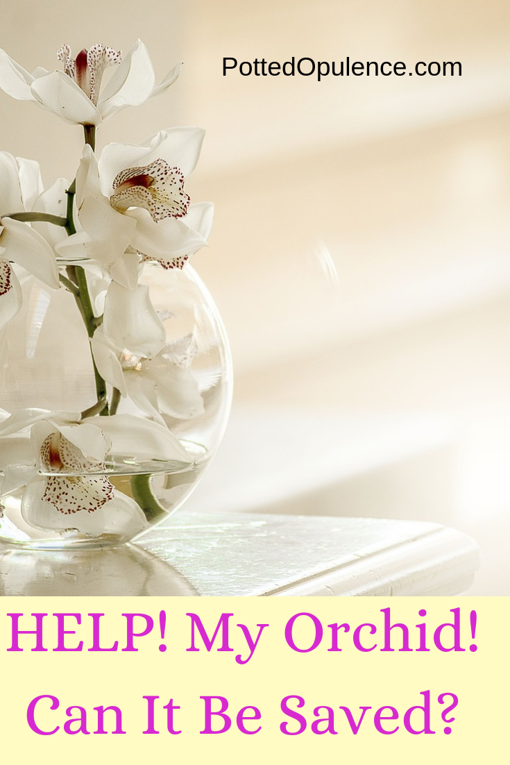 my orchid is dying