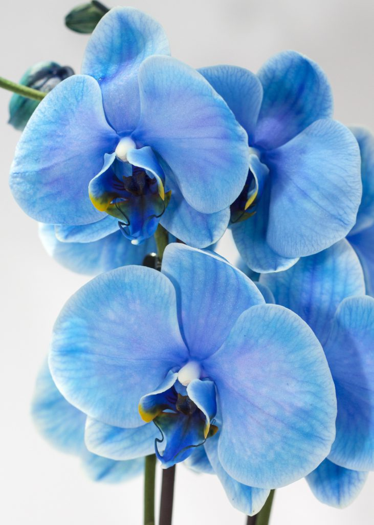 blue orchid