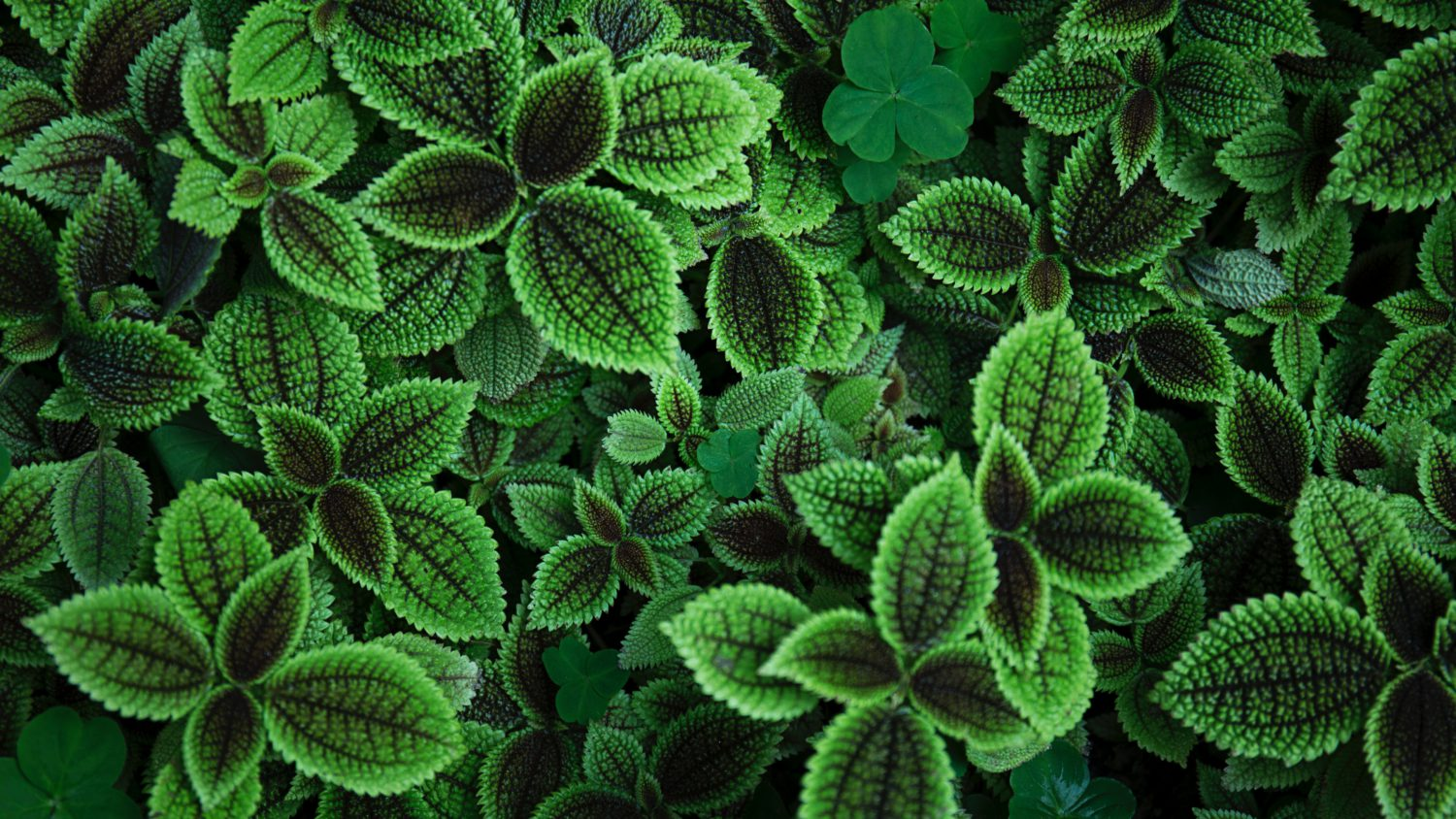 can I grow coleus indoors
