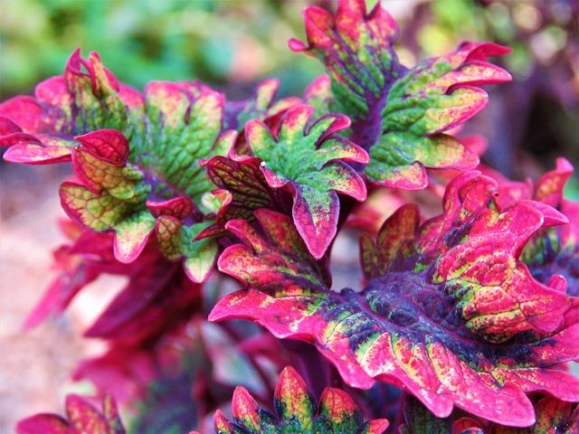 multicolor coleus