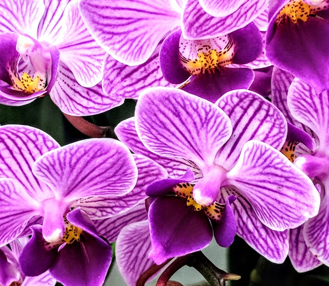 indoor orchid care maintenance