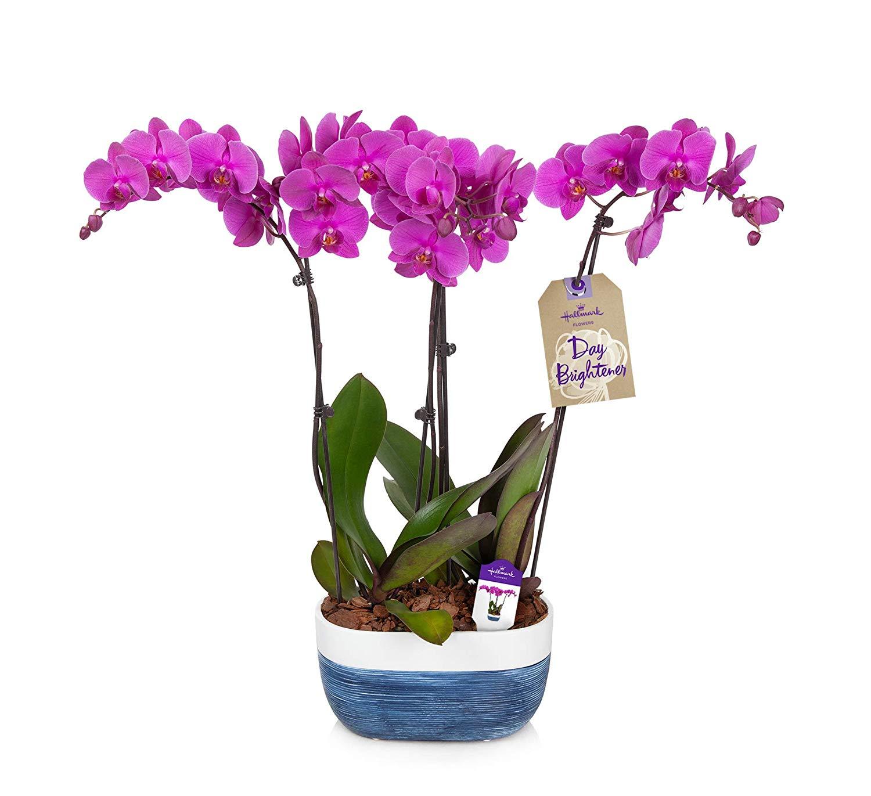 hallmark flowers purple orchid