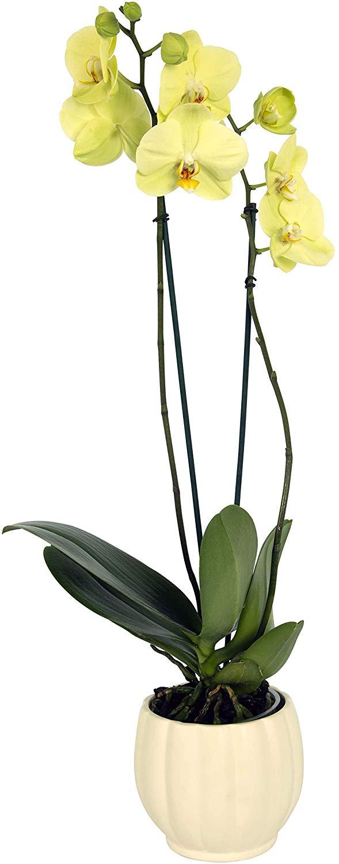 live orchids